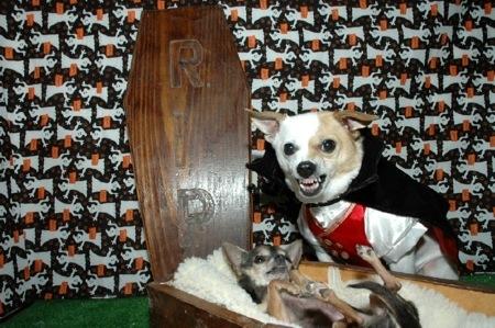 funny halloween photo of vampire dogs