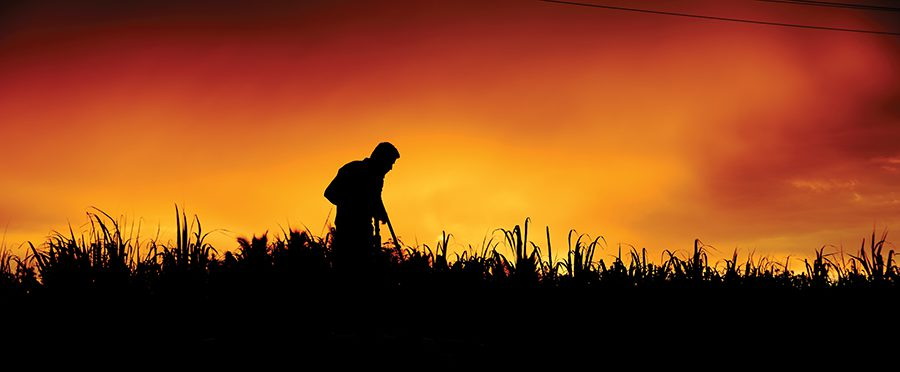 _sunset in the cane fields