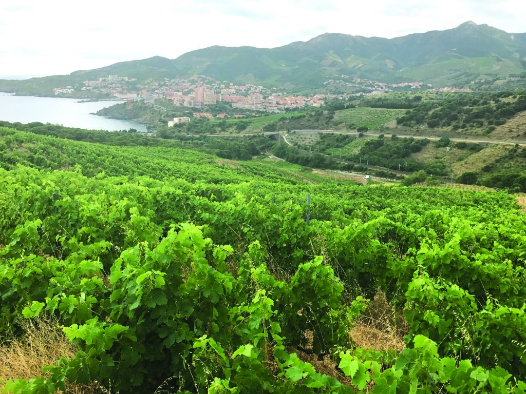 Grenache vines in the foreground of Banyuls, Roussillon.