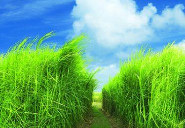 rhum agricole -Sugar cane field